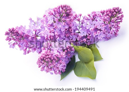 biautiful lilac flowers close up. isolated on the white - stock photo