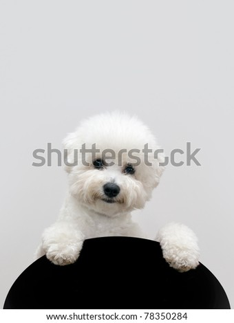 Bichon dog isolated on gray background - stock photo