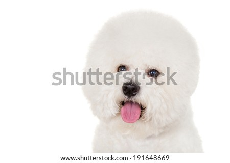 Bichon dog on white background - stock photo