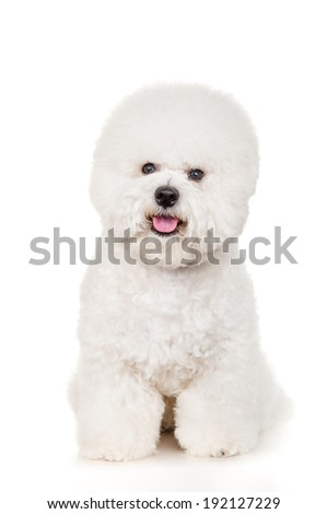 Bichon dog sitting on a white background - stock photo