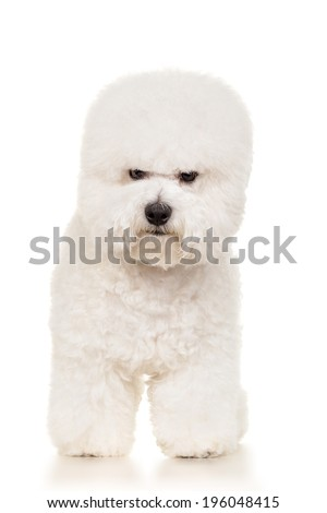 Bichon dog standing at white background - stock photo
