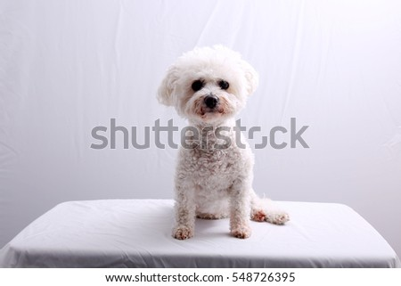 Bichon Frise. A white Bichon Frise Dog sits on a White Table, In a White Room. Small White Dog. Bichon Frise Dog.