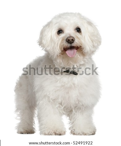 Bichon frise, 13 and a half years old, standing in front of white background - stock photo