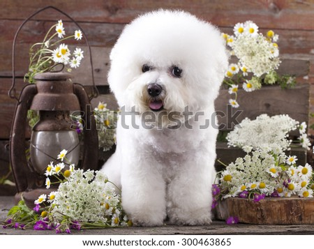 Bichon Frise  and chamomile - stock photo