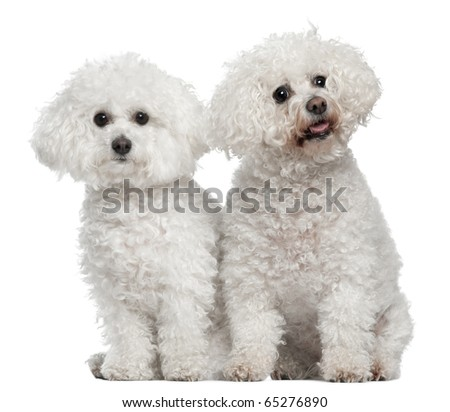 Bichon frise, 9 and 5 years old, sitting in front of white background - stock photo