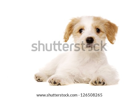 Bichon Frise cross puppy laid looking at the camera isolated on a white background - stock photo