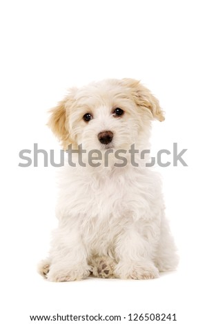 Bichon Frise cross puppy sat up isolated on a white background
