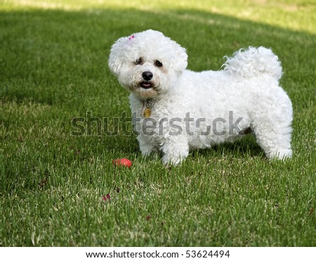 Bichon Frise dog standing in full body pose in green grass.  Tiny sliver of sunshine in background provides contrast and texture.  Orange toy at dog's feet gives a touch of whimsy. - stock photo