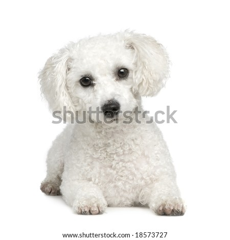Bichon Frise  in front of A white background - stock photo