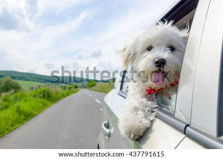 Bichon Frise Looking out of car window - stock photo