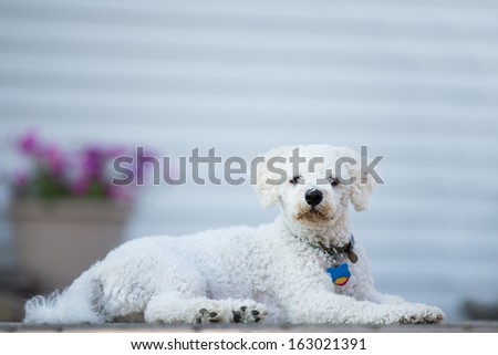Bichon Frise puppie lying on her belly and looking at you - stock photo