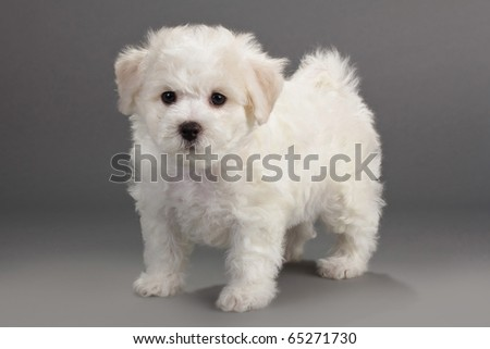 Bichon Frise puppies on a gray background. Not isolated.