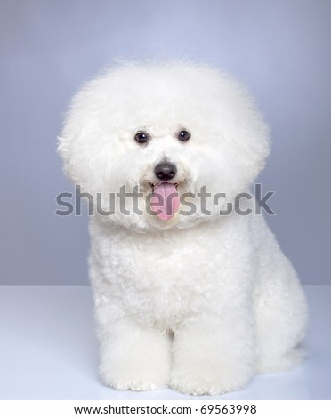 Bichon Frise puppy on a gray background. Not isolated. - stock photo