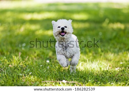 bichon frise running in the park - stock photo