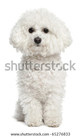 Bichon frise, 5 years old, sitting in front of white background - stock photo