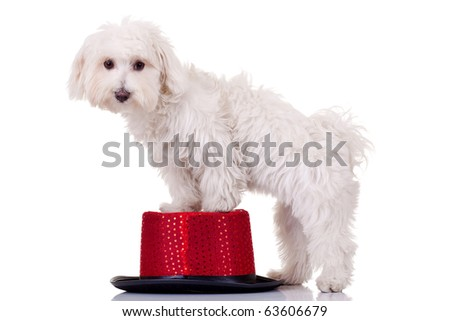 bichon maltese standing with front legs on a show hat - stock photo