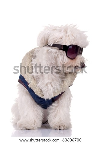 bichon maltese wearing blue clother and sunglasses, over white - stock photo