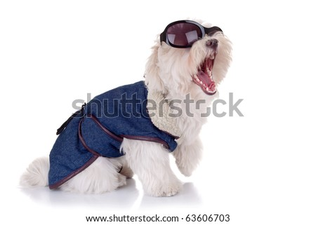 bichon maltese wearing clothes and sunglasses screaming on a white background
