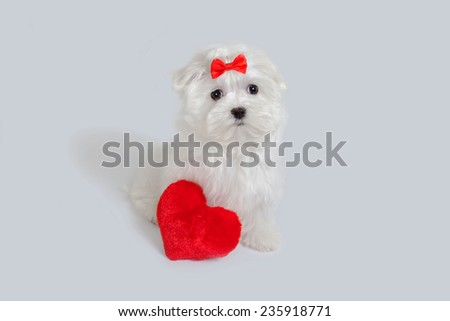 Bichon puppy dog in studio posing with a toy heart - stock photo