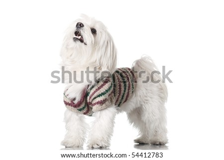 Bichon puppy with clothes isolated on white - stock photo
