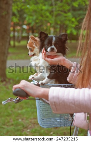 bicycle walking with dogs chihuahua puppy - stock photo