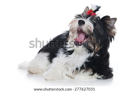 Biewer Terrier Puppy lies and yawns (isolated on white) - stock photo