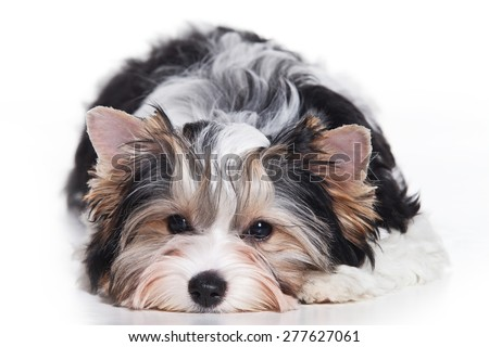 Biewer Terrier puppy lying and looking at the camera (isolated on white) - stock photo