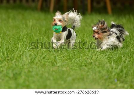 Biewer-Yorkshire terrier - stock photo