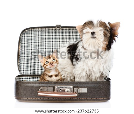 Biewer-Yorkshire terrier and bengal cat sitting in a bag. isolated on white background - stock photo
