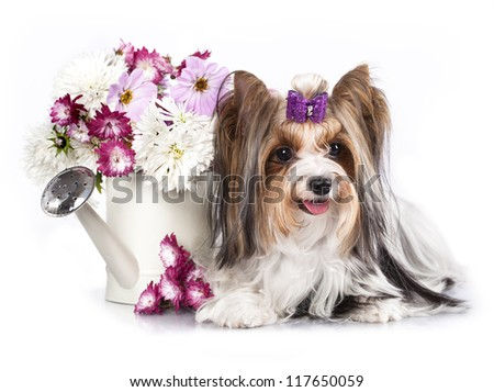 biewer Yorkshire terrier and flowers - stock photo
