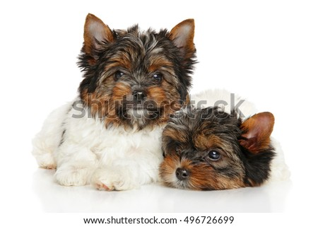 Biewer Yorkshire Terrier puppies in front of white background