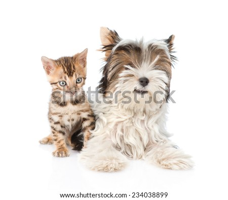Biewer-Yorkshire terrier puppy and bengal kitten lying in front. isolated on white background - stock photo