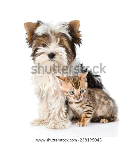 Biewer-Yorkshire terrier puppy and bengal kitten sitting together. isolated on white background