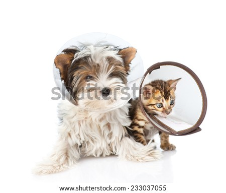Biewer-Yorkshire terrier puppy and bengal kitten wearing a funnel collar. isolated on white background - stock photo
