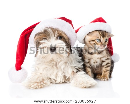 Biewer-Yorkshire terrier puppy and bengal kitten with red santa hat. isolated on white background - stock photo