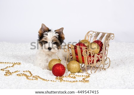 Biewer Yorkshire terrier puppy posing on a white background - stock photo