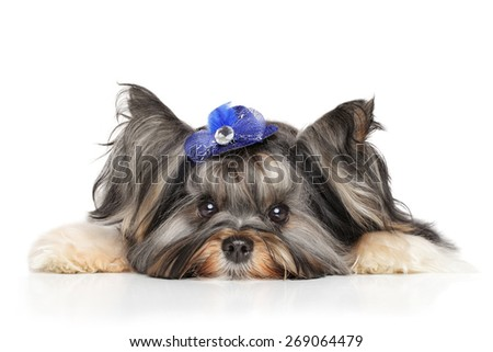 Biewer Yorkshire terrier resting on white background - stock photo