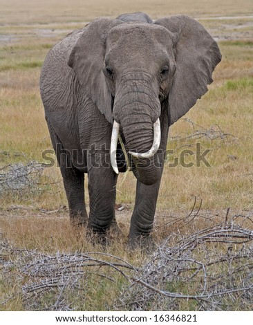 Big African Elephant, Kenya wildlife - stock photo