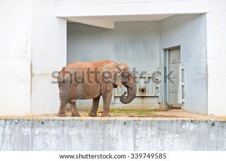 Big african elephant standing near gray wall - stock photo