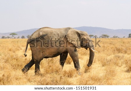 big african elephant walking in a beautiful african landscape