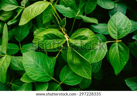 Big and fresh soybean leaves in detail - stock photo