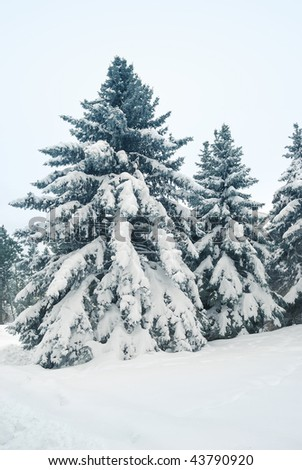 Big and high pine tree. Winter landscape