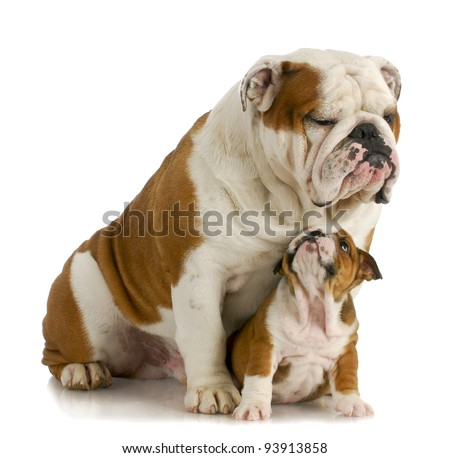 big and small dog - english bulldog father sitting with 8 week old puppy on white background - stock photo