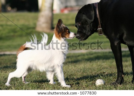 big and small dogs touching noses - stock photo