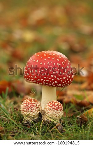Big and small fly agaric mushrooms - stock photo