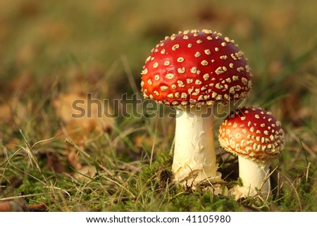Big and small toadstool in the grass