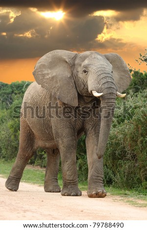 Big angry male African Elephant with head raised at sunset - stock photo
