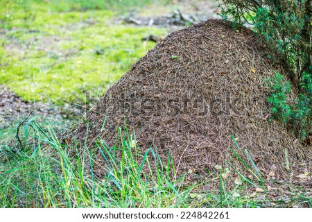 Big anthill with colony of ants in summer forest. - stock photo