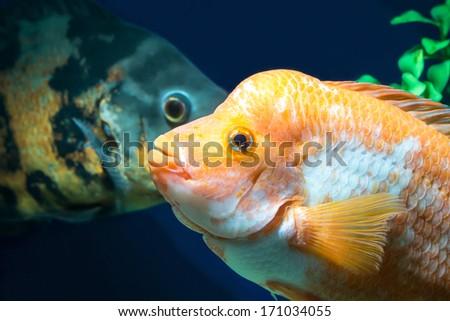 Big Aquarium fish in water - stock photo