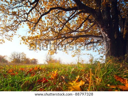 Big autumn oak and green grass with yellow leaves on a meadow - stock photo
